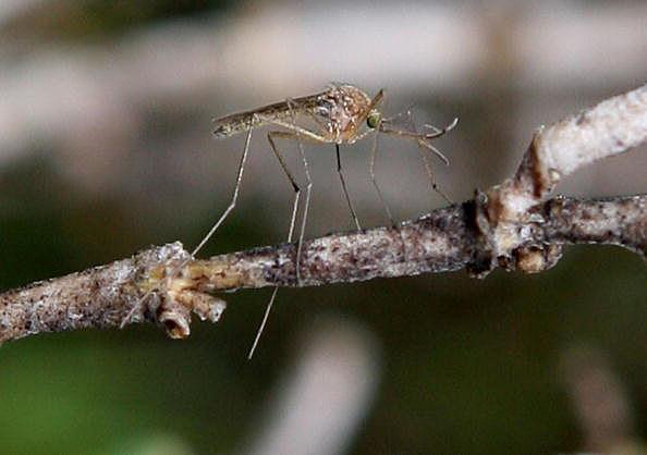 photo of mosquito