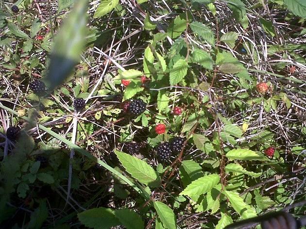 photo of wild blackberries/trailing dewberries