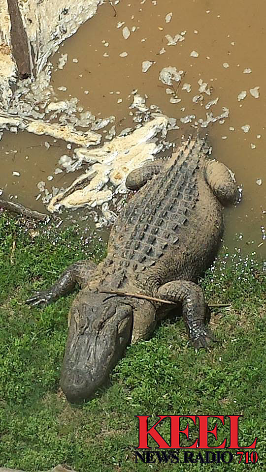 alligator in red river
