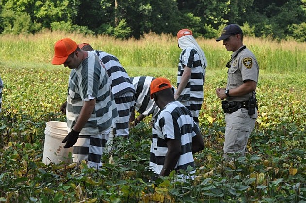 photo of Bossier Parish inmates picking vegies