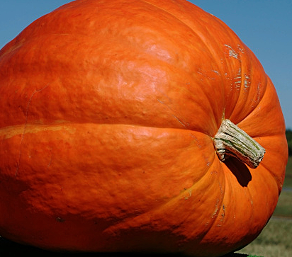 California Farmer Sets Record For Largest US Pumpkin